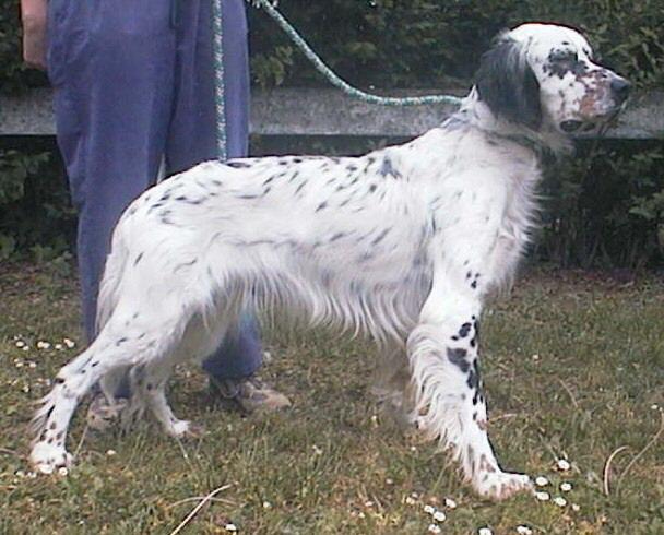 Setter inglese animali domestici setter inglese cani for Cane setter