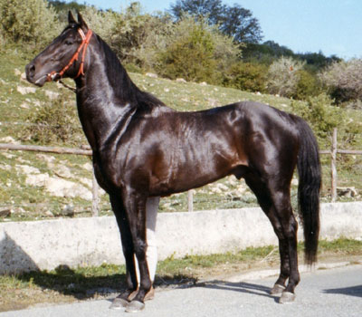 Cavallo anglo arabo sardo for Testardo in inglese