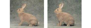 Foto della Razza di Conigli Argentata Piccola