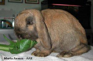 Foto del coniglio ariete nano