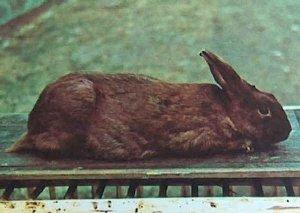 Foto del coniglio razza Avana