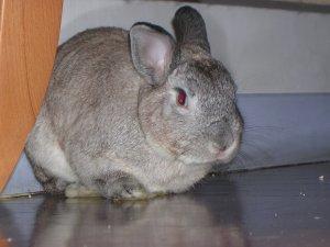 Foto del coniglio Cincill�