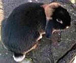 Foto del coniglio razza Focata