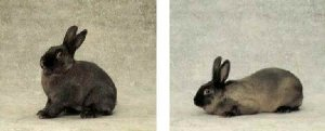 Foto del coniglio Martore