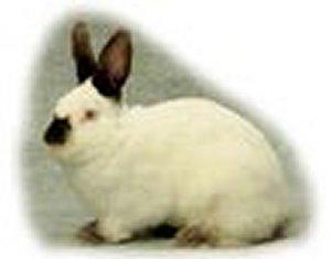 Foto del coniglio Russo