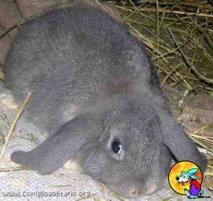 Foto del coniglio Fata Perlata