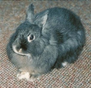 Foto del coniglio Jersey Wooly