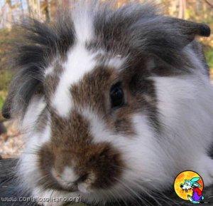Foto del coniglio Merican Fuzzy Loop.jpg