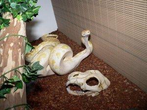 Pitone delle rocce indiano specie serpenti rettili for Cervone serpente