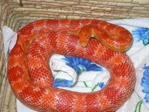 Serpente dei ratti specie serpenti rettili for Serpente cervone