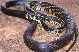 Serpente tigre dei topi specie serpenti rettili for Serpente cervone