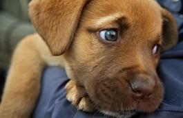 Presenta le razze canine riconosciute dall' ENCI (Ente Nazionale della Cinofilia Italiana)